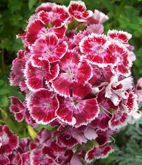 Flor o clavel de los poetas
