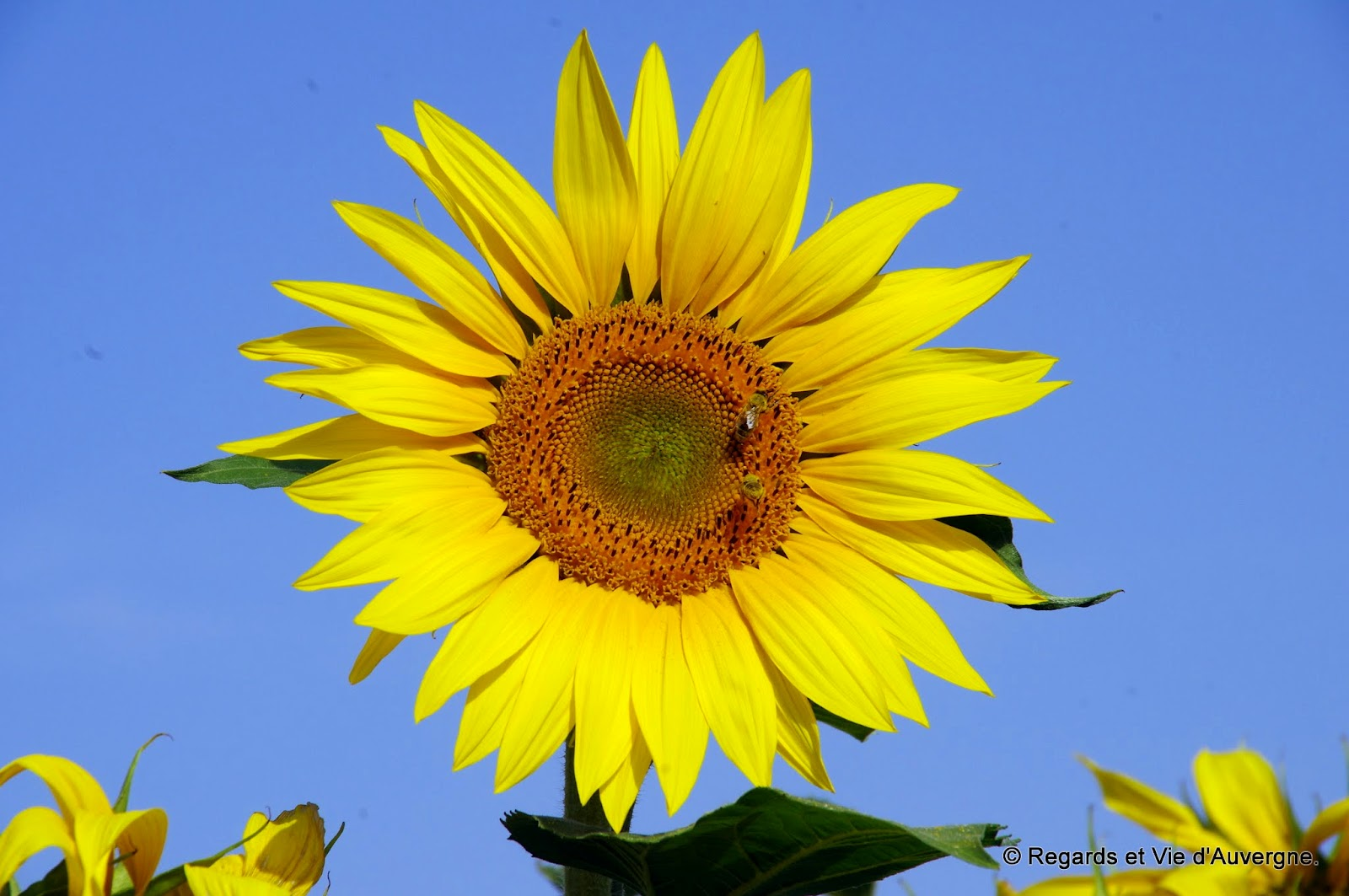 Regards et vie d 39 auvergne le blog sur l 39 auvergne tournesols et soleil - Fleur du soleil ...