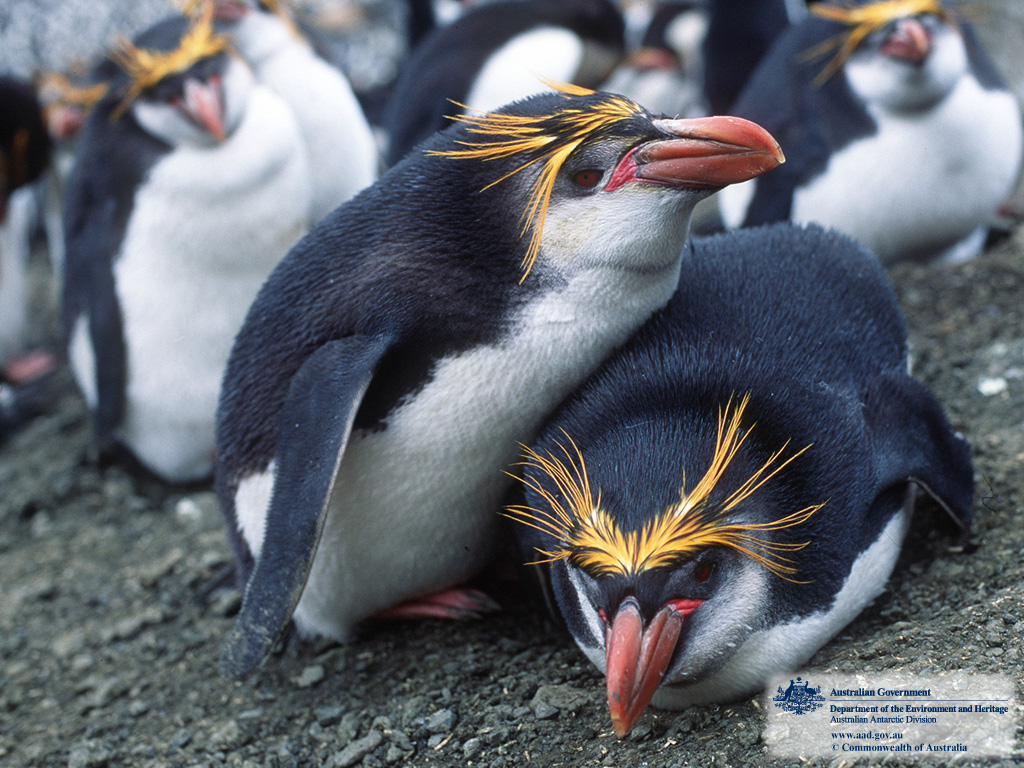 What does a macaroni penguin look like 10