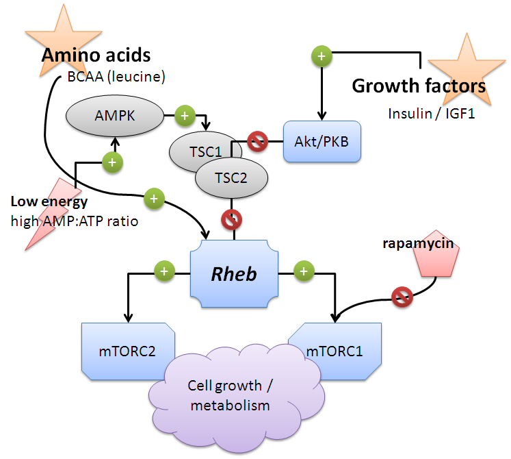 anabolic process of protein