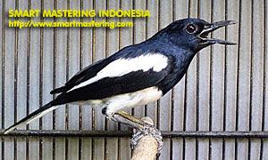 burung kicau indonesia terbaik - infolabel.blogspot.com