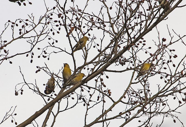 Eurasian Siskins in Winter