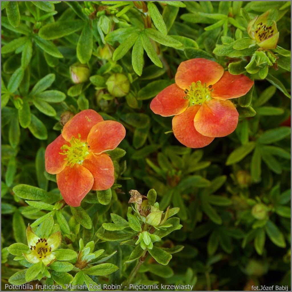 Potentilla fruticosa 'Marian Red Robin' - Pięciornik krzewiasty