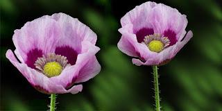 opium+poppy+bunga+berbahaya