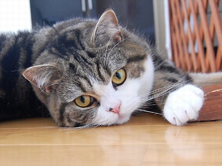 Maru kucing Jepun.. Maru sangat gemuk dan comel.. Maru suka bermain ...