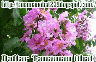 Bungur (Lagerstroemia speciosa Pers.)