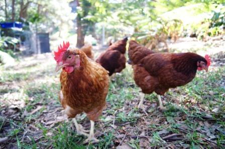 mini dinosaur chickens australia