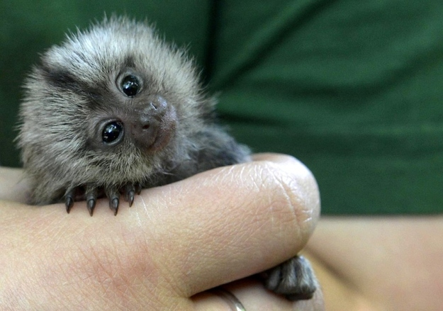 A baby marmoset being hand-raised in Germany, baby marmoset, marmoset pictures