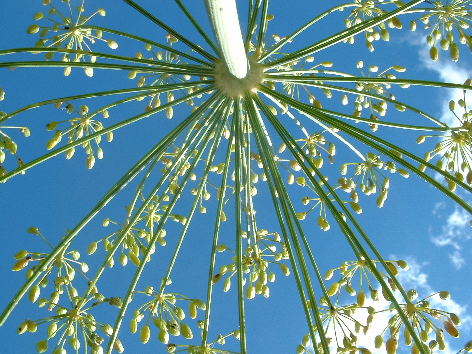 Beautiful Dill + video