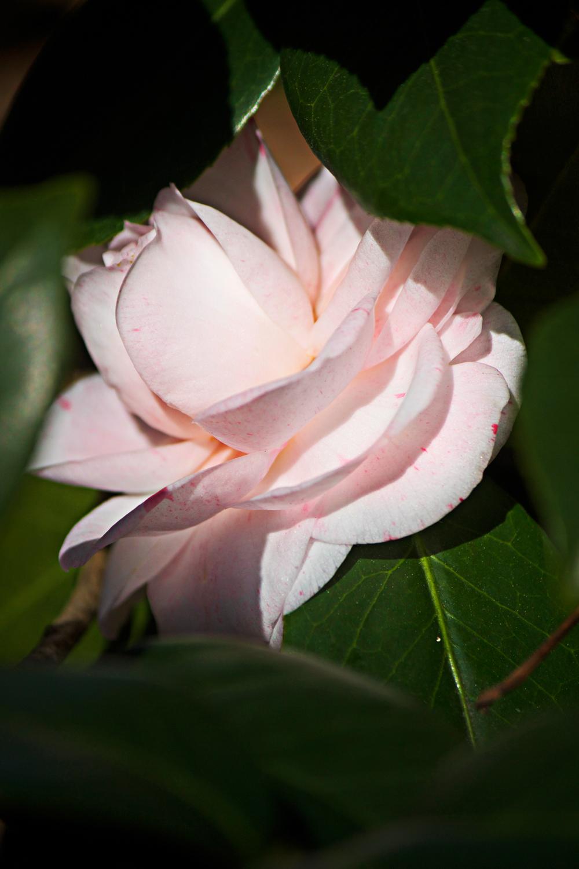pink camellia flower - photo copyright Allison Beth Cooling