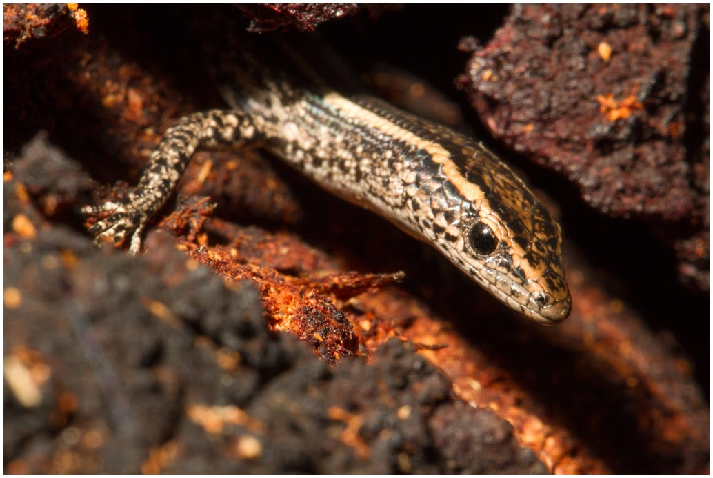 A photograph of a Dark bar-sided Skink taken in Sydney, Australia