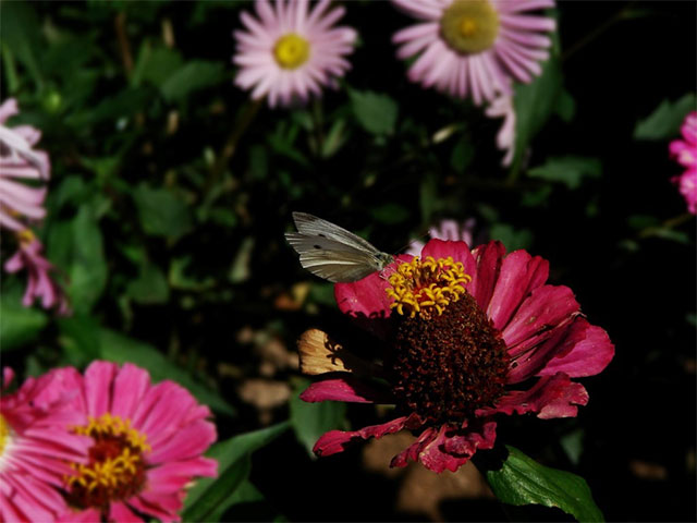 borboleta flores