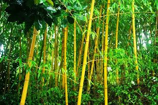 Luarca, Jardines de la Fonte Baixa, bambú