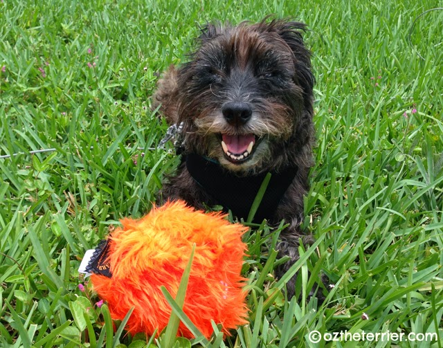 Oz the Terrier happily playing with GoDog toy