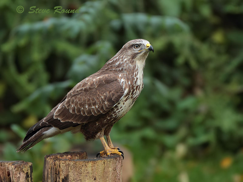 buzzard, common, bird, raptor