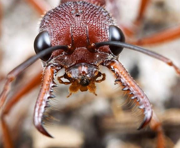 MyrNigris membro da família Formicidae