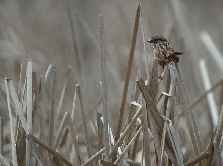A Swamp Sparrow sitting on dead cattail stalks at Spring Valley Nature Area.