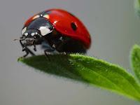 ladybug, spider mites predator