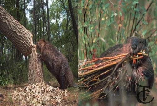 Beaver has sharp teeth