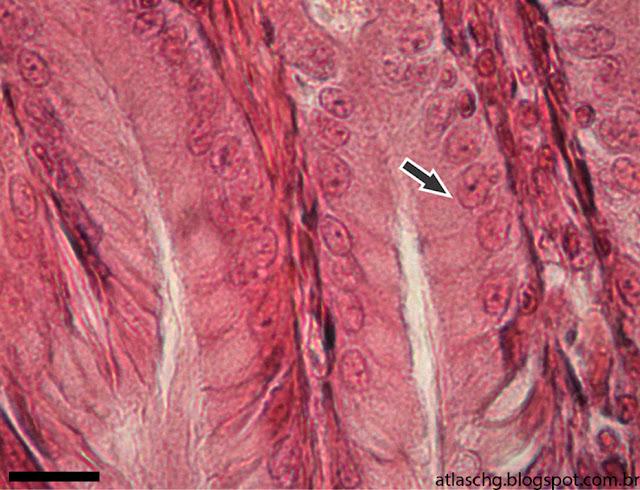 Corte de estômago - Tecido epitelial de revestimento simples prismático
