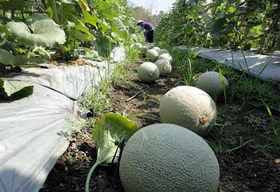 manfaat tanaman melon untuk kesehatan dan kecantikan