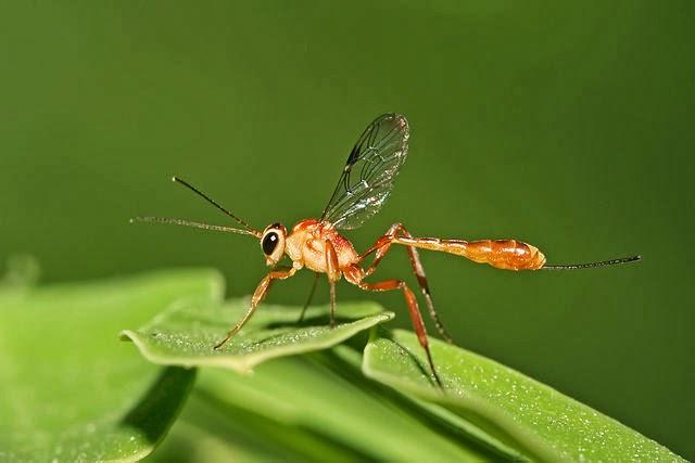 Icneumón - Icneumónidos (Ichneumonidae) Animal con i
