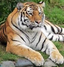 harimau | hewan pemakan daging