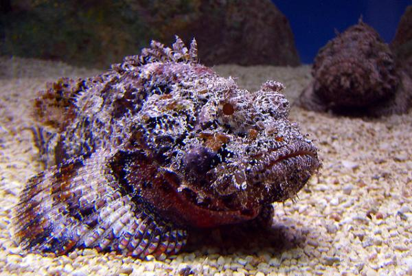 5 most venomous animals - the stonefish