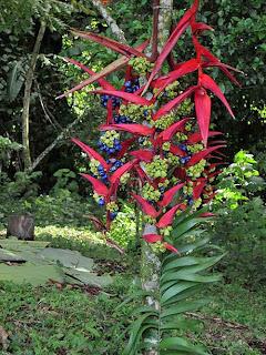 Wild Heliconia Flower