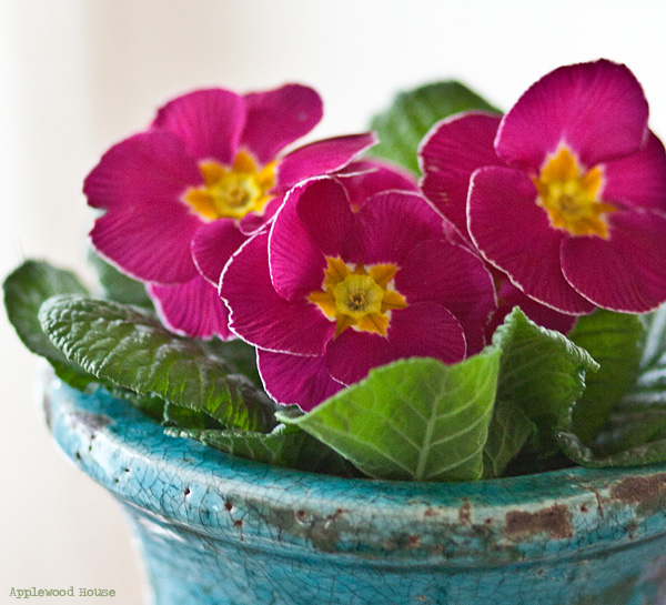 Primrose Primel pink