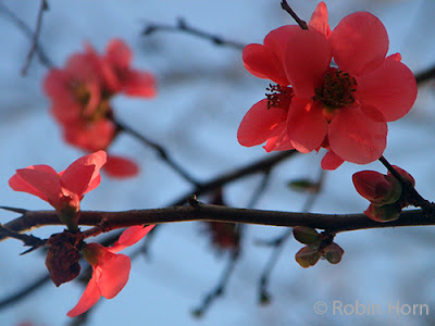 Bright Red Flowering Quince