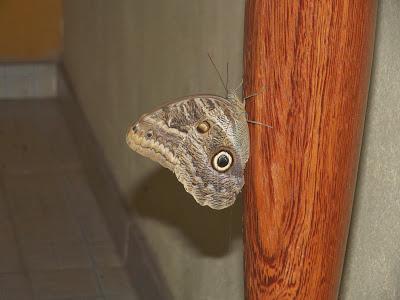 Mimetismo batesiano (Borboleta Caligo eurilochus brasiliensis)