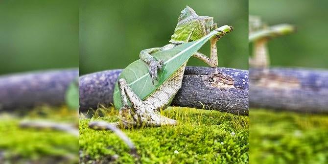 foto kadal main gitar