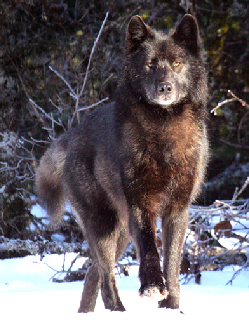 Romeo - The Story of an Alaskan Wolf - written by John Hyde