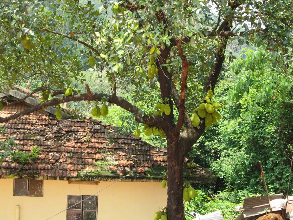 http://4.bp.blogspot.com/-bt0V9bwGK3Q/TbLVLCHTRpI/AAAAAAAAADs/B6qpvY-BK_s/s1600/Young+green+Jack+furit+Tree++PC+Wallpaper.JPG