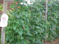 scarlet emperor runner beans