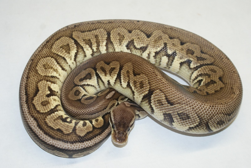 Black Pewter Ball Python Black pewter ball python