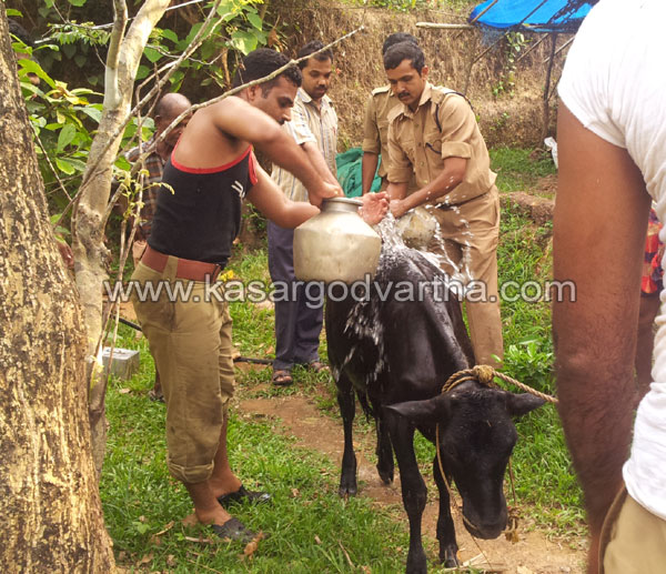 Cow fell down in well, Chemnad, Kasaragod