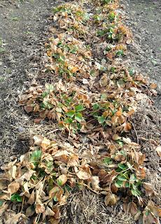 Грядка трехлетней клубники после зимы