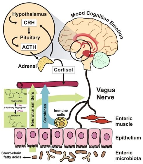 Enteric nervous system second brain