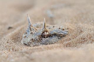 best animal photography, Desert Horned Viper, Cerastes cerastes, Endangered snakes