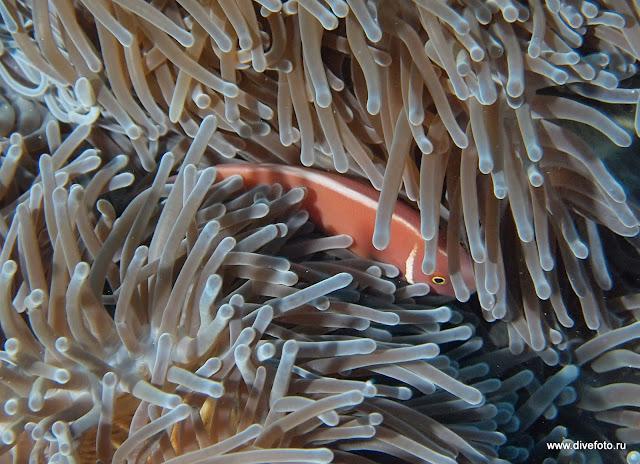 Anemon fish розовый