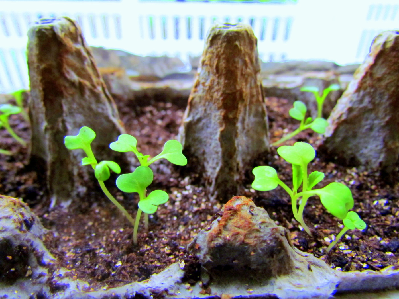 how to make omnion seedlings