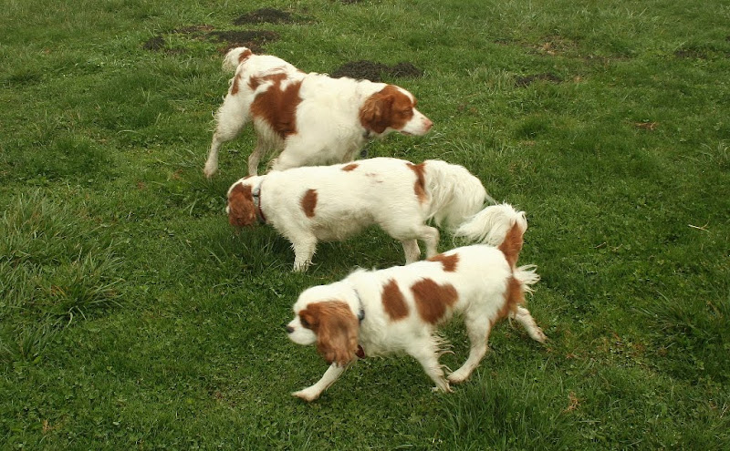 three dogs in parallel lines that are white with ginger/apricot markings