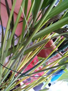 Jeunes pousses de Chrysalidocarpus Lutescens