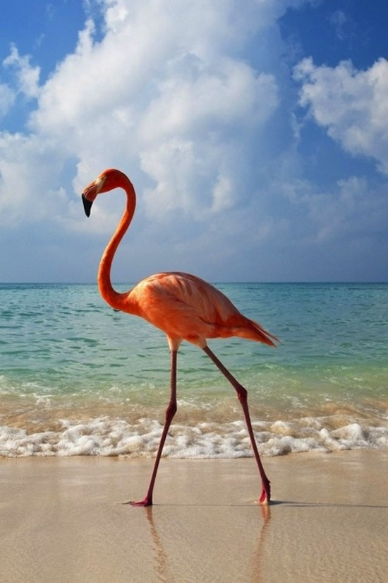 Flamingo Walking On Beach In Ocean