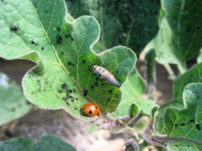 Καταπολέμηση μελίγκρας και ψώρας φυτών