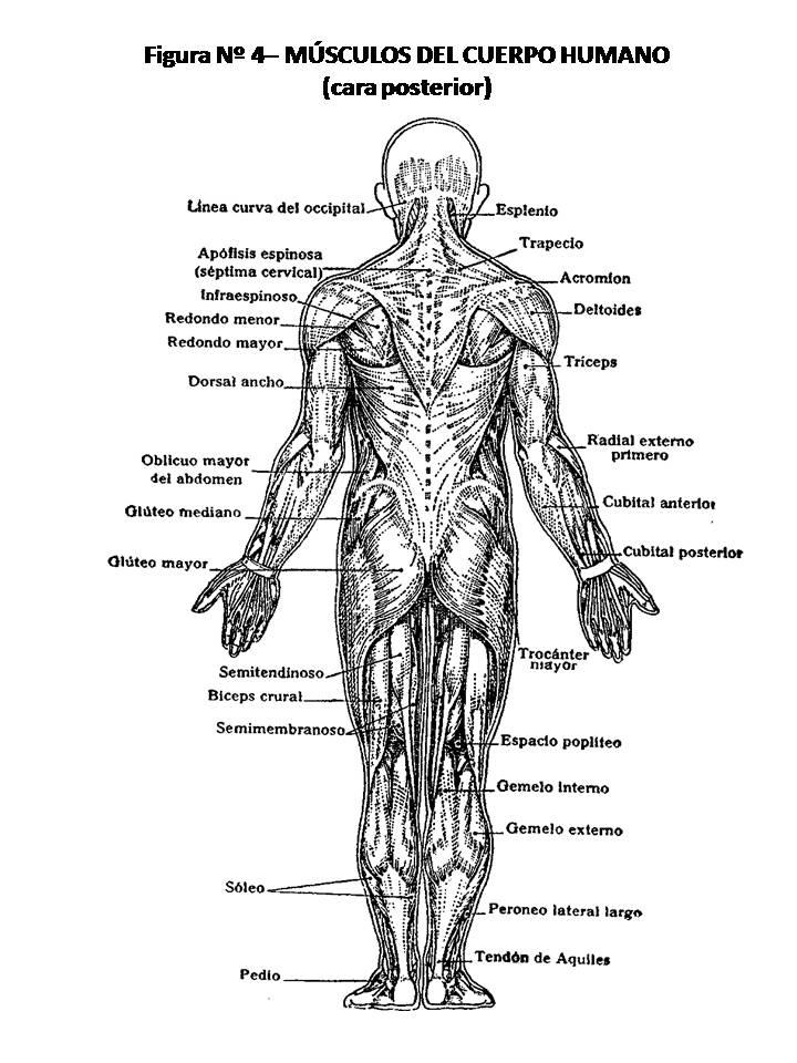 ATLAS DE ANATOMÍA HUMANA: 4. MÚSCULOS DEL CUERPO HUMANO, CARA POSTERIOR.