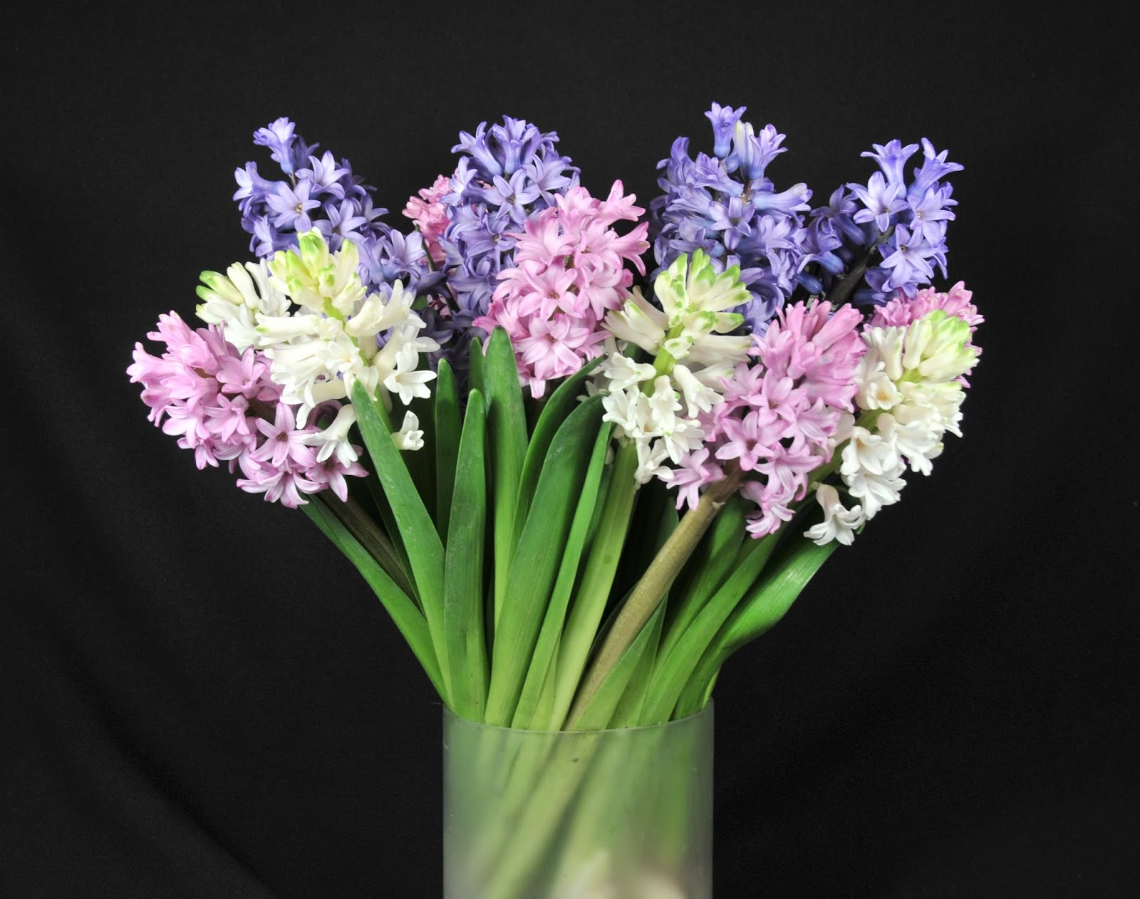 Hyacinth season is here flower talk hyacinths in a vase reviewsmspy