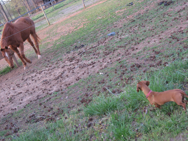 Tammy, miniature dachshund, dog, horse